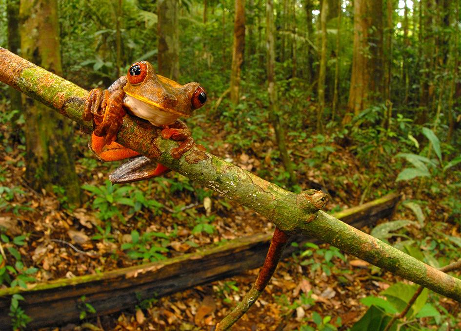 Дървесна жаба (Hypsiboas geographicus) виси от клонче. Този вид е сред общо 46 вида жаби описани по време на експедицията. Снимка: © Trond Larsen