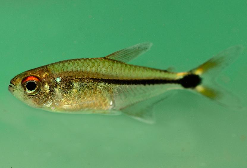 Новооткритата рибка Hemigrammus aff. ocellifer. е една от общо 11 неизвестни на науката видове риба, открити по време на експедицията. Снимка: © Trond Larsen
