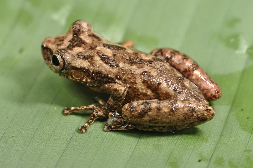 Новооткритият вид дървесна жаба (Scinax sp) е най-новият представител на род гъвкави и бързо движещи се жаби, който включва над 100 вида. Една жабка от новия вид скочила на масата на лагеруващите изследователи по време на вечеря! © Stuart V Nielsen