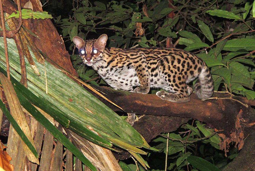 """Този вид малка дива котка (Leopardus wiedii) не е рядко срещана, но е много """"срамежлива"""" и е изключително трудно да бъде снимана. Тя е приспособена към живот по дърветата, където ловува птици, гризачи и дори маймуни. Снимка: © Brian O'Shea"""