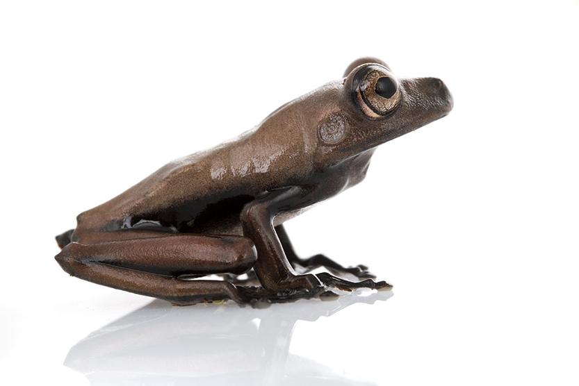 Новият вид Hypsiboas sp. Като другите земноводни тази жаба има полупропусклива кожа, което я прави много податлива на промените в околната среда. Според учените през последните 3 десетилетия са изчезнали около 100 вида жаби. Снимка: © Piotr Naskrecki