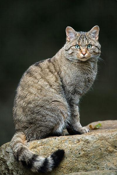 Европейска дива котка - Felis silvestris. Снимка: Luc Viatour / www.Lucnix.be