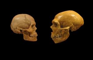 Сравнение между съвременен човешки (вляво) и неандерталски череп. Снимка: Matt Celeskey (CC BY-SA 2.0)