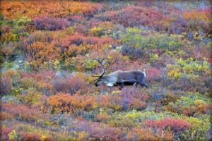 Северен елен. Снимка: blmiers2 (CC BY-NC-SA 2.0)