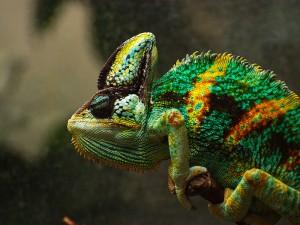 Йеменски хамелеон с по-ярка окраска. Снимка: ChaosHusky (CC BY-NC-SA 2.0)