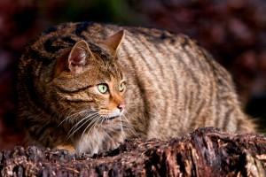 Дива котка. Снимка: Tambako the Jaguar (CC BY-ND 2.0)