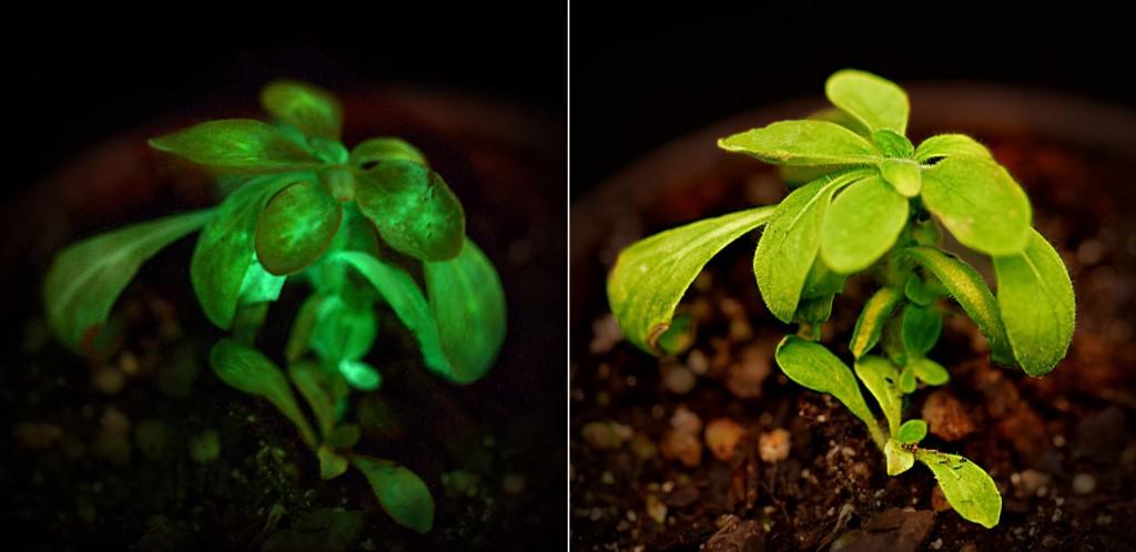 """Растението """"Старлайт Аватар"""", светещо на тъмно (вляво), и на дневна светлина (вдясно). Снимки: Bioglow"""