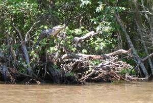 Американски алигатор се е покатерил на клон, надвиснал над река в щата Мисисипи, САЩ. Снимка: University of Tennessee