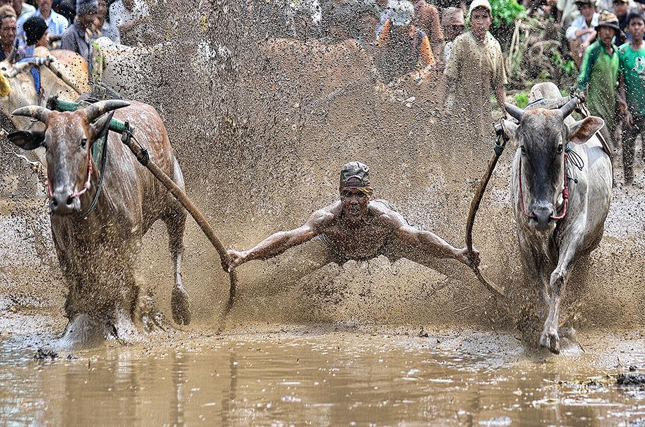 Традиционно състезание с крави в Индонезия. Снимка: © Irwansyah, Indonesia, 1st place, Indonesia National Award, 2014 Sony World Photography Awards
