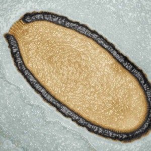 Снимка на напречно сечение на древния вирус Pithovirus sibericum. Изображение: Julia Bartoli & Chantal Abergel, IGS, CNRS/AMU