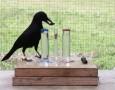 """<p>Вид врана, живееща на островите Нова Каледония, източно от Австралия, отново смая учените със своя интелект. В новия експеримент птицата показа, че може да реши сложна задача толкова добре, колкото … <a href=""""http://www.nauteka.bg/sciences/biology/neveroyatno-inteligentni-vrani-demonstrirat-intelekt-na-7-godishno-dete-video/"""" class=""""read_more"""">още</a></p>"""