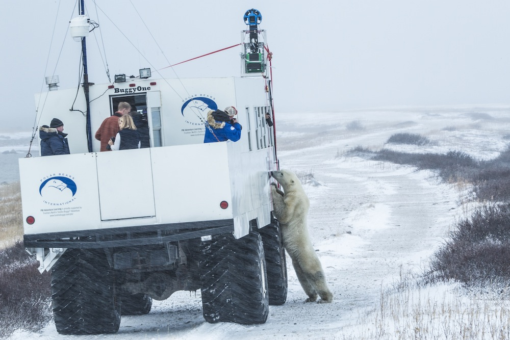 """Любопитна бяла мечка """"изследва"""" бъгито на Google. Снимка: Google"""