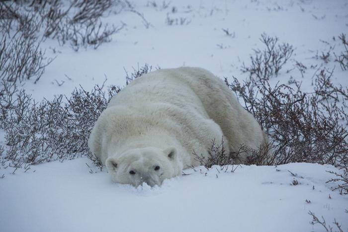 Почиваща си мечка. Снимка: Google