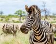 """<p>От 1870 година насам учените спорят по въпроса как зебрите са се сдобили с добре познатия на всички ни вид. Сега група изследователи смятат, че са открили отговора на загадката.… <a href=""""http://www.nauteka.bg/sciences/biology/zashto-i-kak-zebrata-se-e-sdobila-s-interesnata-si-okraska/"""" class=""""read_more"""">още</a></p>"""
