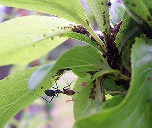 Мравка, която се грижи за листните си въшки. Снимка Fir0002