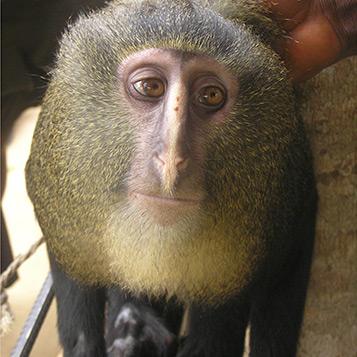 Представител на новооткрития вид маймуна Cercopithecus lomamiensis (кликни за по-голяма версия). Снимка: Plos/Maurice Emetshu