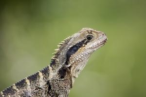 Австралийски воден дракон. Първото глобално изследване за нивото на съхраняване на влечугите показа, че 19% от тях са застрашени от изчезване. Снимка: robby_m