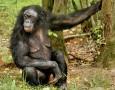 """<p>Бонобо е човекоподобна маймуна, чието име не присъства в Правописния речник на българския език (поне в този от 1984 година). Поради това решаваме, че множественото число ще бъде бонобота.</p> <p>Боноботата … <a href=""""https://www.nauteka.bg/sciences/i-want-to-know/kakvo-e-bonobo/"""" class=""""read_more"""">още</a></p>"""