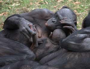 Бонобота. Автор: LaggedOnUser