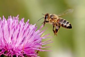 Медоносната пчела (Apis mellifera) е един от социалните видове пчели, които учените са изследвали. Снимка: Fir0002