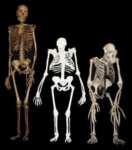 Модел на седиба (център) между скелет на дребна съвременна жена (ляво) и шимпанзе (дясно). Източник: Университет на Уитуотърсранд.