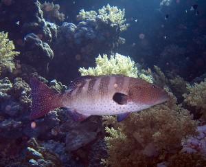 Рибите от вида Plectropomus pessuliferus използват знаци, за да посочват на своите партньори в лова къде се е скрила плячката. Снимка: Jon Hanson