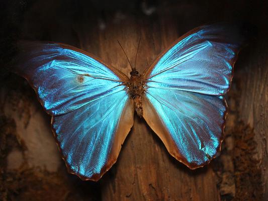 Пеперуда Морфо. Снимка: greyloch/flickr (CC BY-NC-ND 2.0)
