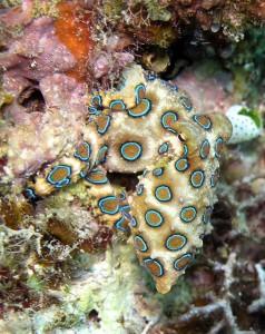 Синьопръстенен октопод. Снимка: Jens Petersen (CC BY-SA 3.0)