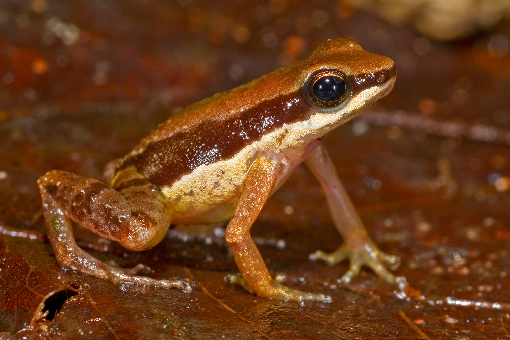 """Смята се, че тази жабка с размерите на нокът е вече застрашена. Именно за това латинското й име Allobated amissibilis в превод означава """"който може да бъде изгубен"""". Снимка: Philippe Kok"""
