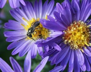 Дива пчела. Снимка: Patty O'Hearn Kickham (CC BY-NC-ND 2.0)