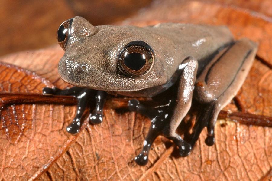 Новооткрита дървесна жаба Hypsiboas sp. На пръстите си има кръгли дискчета, с които умело се изкачва по дърветата. Снимка: © Stuart V Nielsen