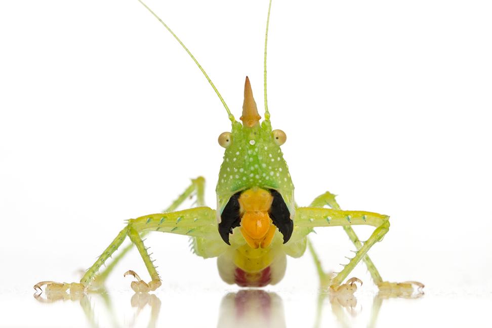 Този вид - Copiphora longicauda - използва силните си и покрити с остри шипове крайници, за да ловува други насекоми и безгръбначни. Снимка: © Piotr Naskrecki