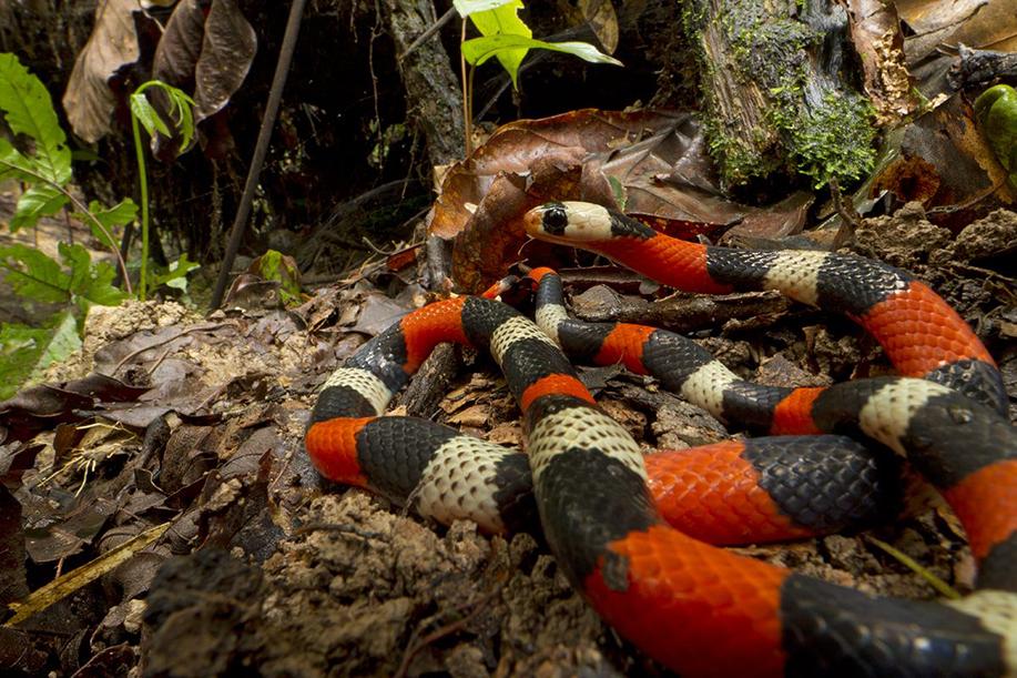 Ярките цветове на лъжливата коралова змия й осигуряват защита от хищници, въпреки, че не е отровна като истинската коралова змия. © Piotr Naskrecki