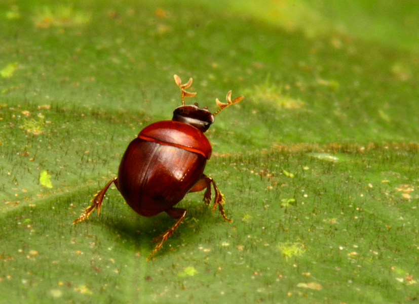 """Този нов вид бръмбар """"лилипут"""" (Canthidium cf. minimum) вероятно представлява и изцяло нов род. Той е дълъг 23 мм и вероятно е вторият най-малък вид бръмбар в Южна Америка. Отличава се с наподобяващи еленови рога антени. Снимка: © Trond Larsen"""