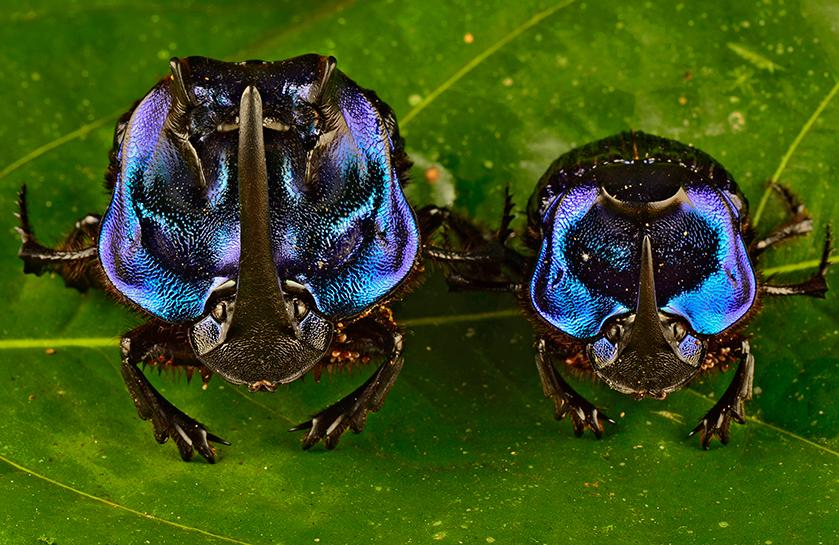 Торните бръмбари от вида Coprophanaeus lancifer са най-големите в Южна Америка. На главата си имат рог, с който влизат в люти битки за партньор. Снимка: © Trond Larsen