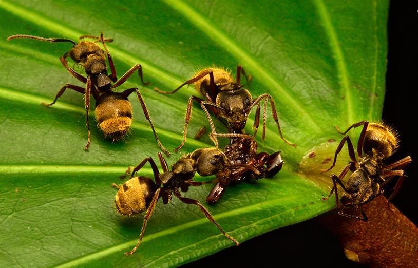 Мравки, ядящи умряло насекомо. Това е един от общо 149-те вида мравки, наблюдавани по време на експедицията. Снимка: © Trond Larsen