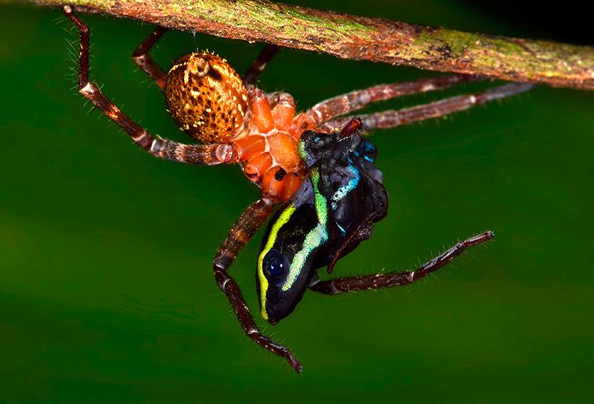 Голям вълчи паяк яде отровна жаба. Снимка: © Trond Larsen
