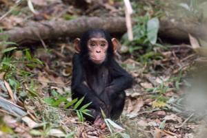Бебе шимпанзе. Снимка: David Schenfeld (CC BY-NC-ND 2.0)