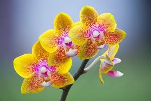 Орхидея Фаленопсис. Снимка: Rodney Campbell (CC BY-NC-ND 2.0)