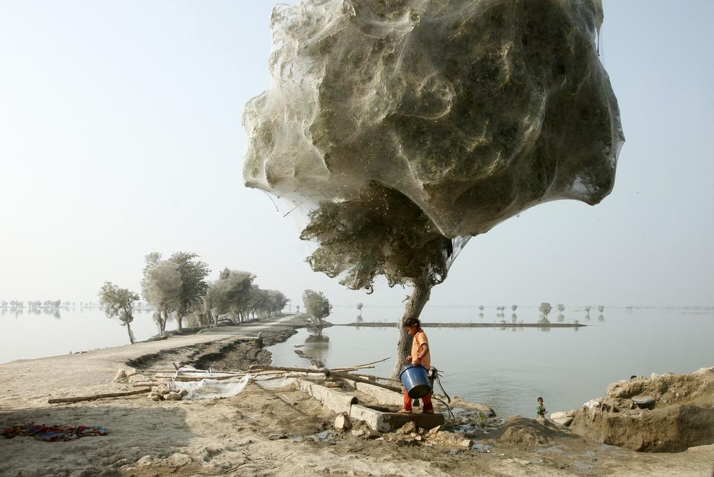 Вследствие на голямото наводнение в Пакистан през 2010 година нивото на водата се задържа високо за много дълго време. Това кара паяците да потърсят спасение на дърветата и да ги оплетат целите в паяжини. Снимка: UK Department for International Development (CC BY 3.0)