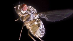 Мухата Drosophila hydei в полет. Снимка: F. Muijres / F. van Breugel, University of Washington