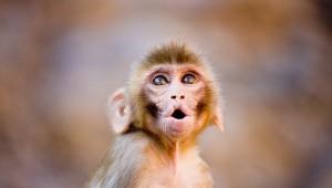 Маймуни математици разкриха повече за еволюцията на абстрактното мислене