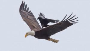 Как един гарван се повози върху гърба на орел (СНИМКИ)